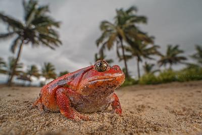 Madagascar tomato frog ( Dyscophus antongilii ) / Female