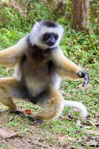 Sifaka Lemur Dancing