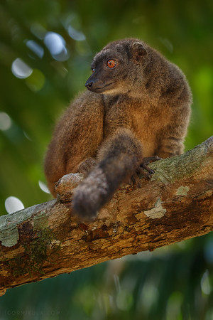 The white-headed lemur (Eulemur albifrons)