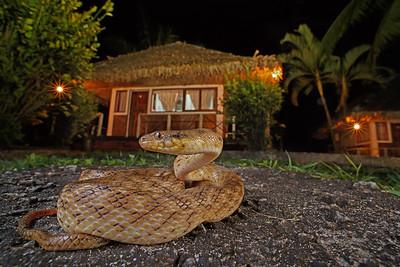 Madagascar Cat-eyed Snake ( Madagascarophis colubrinus  )