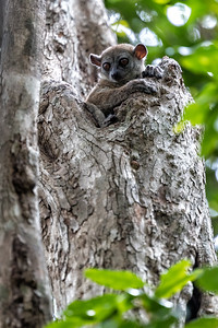 The big draw is the variety of lemurs to be found in the forests.  Unfortunately the forests have been shrunken by agriculture.  This is a sportive lemur.  There are many many different kinds of lemurs and 26 different versions of this one