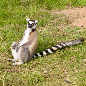 Ringtail Lemur Seated