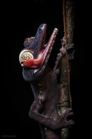 Giant Leaf-tailed Gecko (Uroplatus fimbriatus)