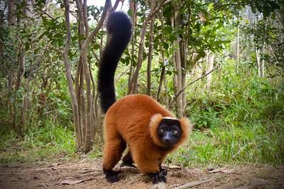 Red Ruffed Lemur 1