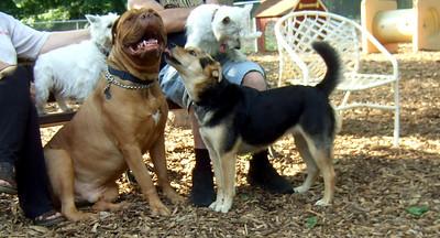 ROCKY (mastiff) & MADDIE first kiss ever FB JUNE