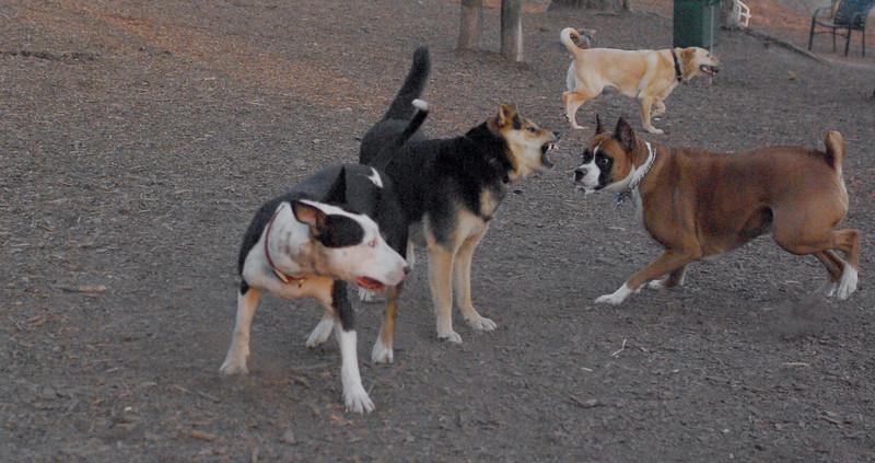 rocky (boxer), maddie, bud, jack
