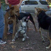 SPENCER (pup), RUBY (from Massacheusetts), MADDIE (Indiana Stockdog)