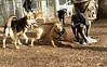 Mojo (pit pup), Maddie, Blackjack_00001
