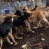 SIDNEY (NSDTR), ruby (hound  pup), maddie, maggie