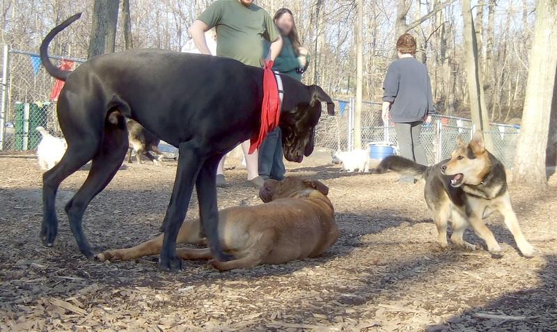 PANZER (great dane pup), ROCKY (french mastiff), MADDIE