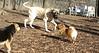 Hudson (mastiff), leo, maddie_00001