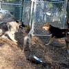 GUNNER (elk hound), SHAMUS (basenji), MADDIE
