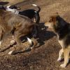 AXEL (boxer) & BUD (budd, bull terrier mix) 8