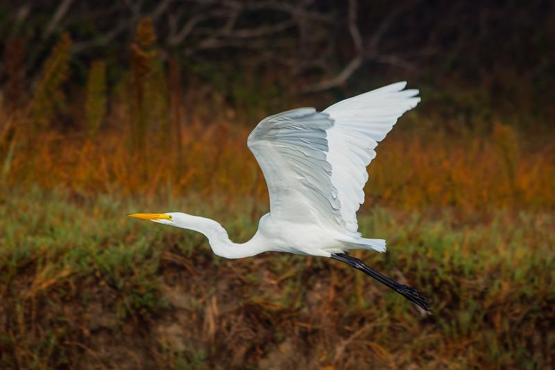 Great Egret in flight at Natural Bridges