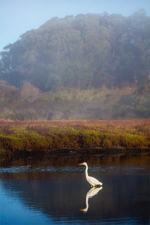 Great Egret in Natural Bridges Lagoon during morning fog