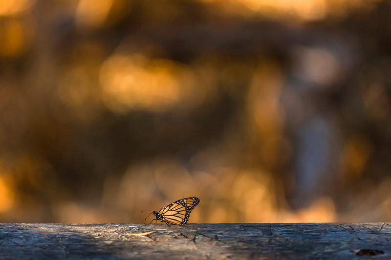 Monarch Butterfly, Natural Bridges