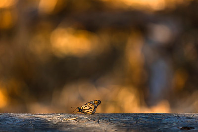 Monarch Butterfly, Natural Bridges