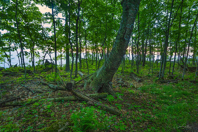 Birch Forest on Shore of Lake Superior, Madeline Island, Wisconsin