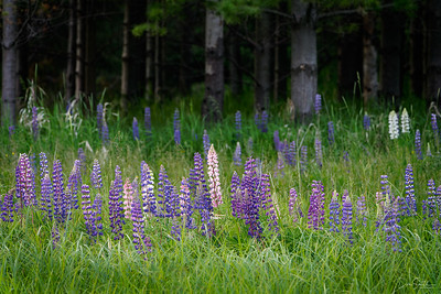 Lupine FIeld and Forest, Madeline Island, Wisconsin