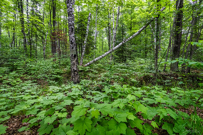 White Birch and Thimbleberry Forest, Madeline Island, Wiconsin