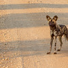 African Wild dog aka African Painted dog aka Cape hunting dog