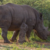 White Rhinoceros aka Square-lipped Rhionceros