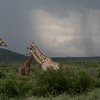 Giraffe with Strom clouds