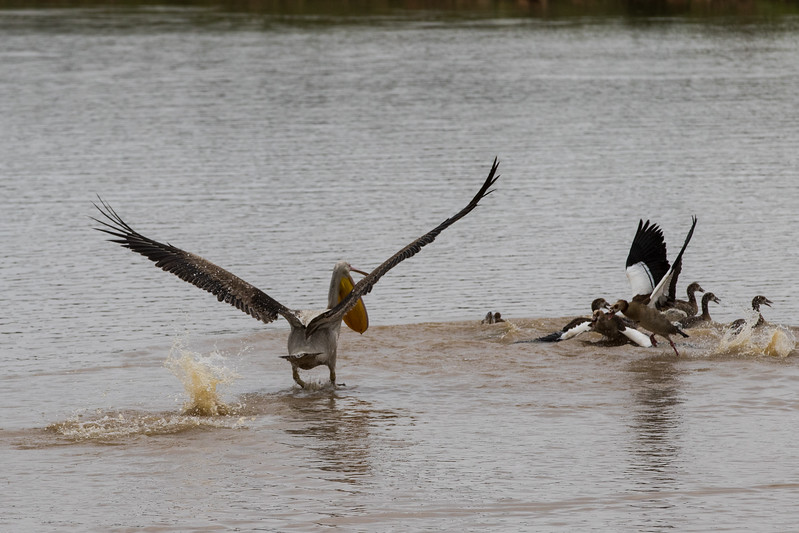 Great White Pelican preying on an Egyptian Geese Family