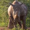 White Rhinoceros aka Square-lipped Rhionceros