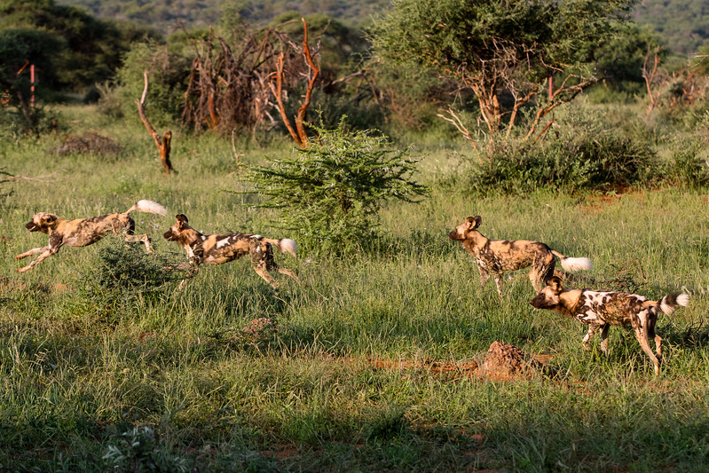 Wild Dogs, African Painted Dogs, Cape Hunting Dogs