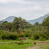 Plains Zebra and Giraffe