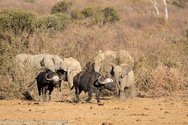 Buffalo and Elephants