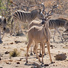 Kudu and Plains Zebra