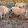 White Rhinoceros,