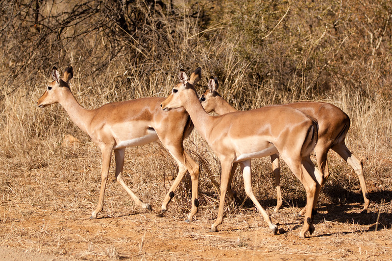 Female Impala buck
