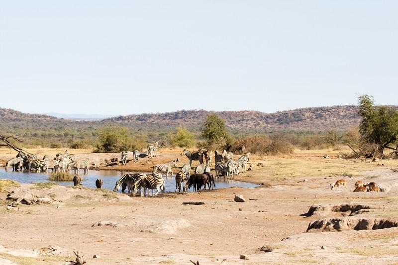 Zebra, Blue Wildebeest, Impala