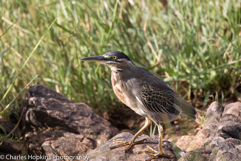 Green-backed Heron aka Straited Heron