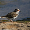 Three-banded Plover aka Three-banded Lapwing