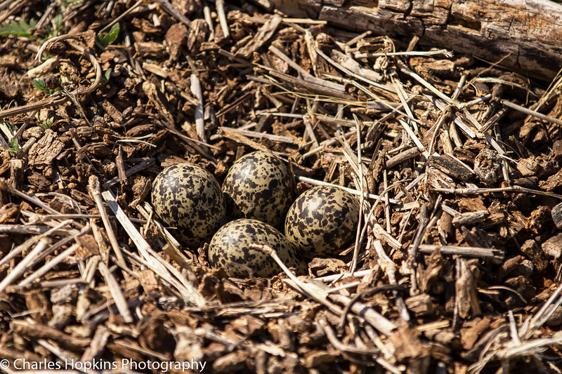 African Wattled Lapwing aka Wattled Plover Nest with eggs