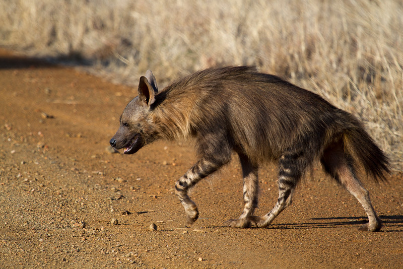 Brown Hyaena