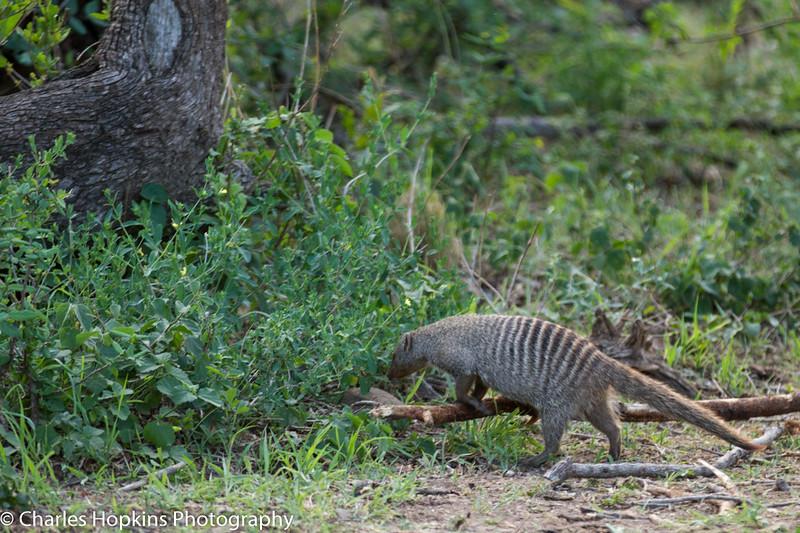 Ring-tailed Mongoose