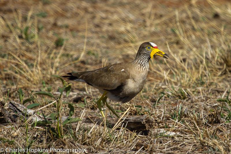 African Wattled Lapwing aka Wattled Plover