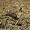 African Wattled Lapwing aka Wattled Plover