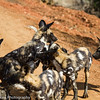 African Wild Dogs aka African Painted Dogs aka Cape Hunting Dogs.