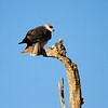 Black-shouldered Kite aka Black-winged Kite