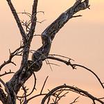 Snake - African tree Python