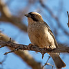 White-browed Sparrow Wever