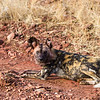 Wild Dog aka Painted Dog aka cape hunting dog, aka Painted wolf