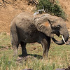 African Elephant bathing