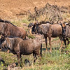 Wildebeest aka Gnu